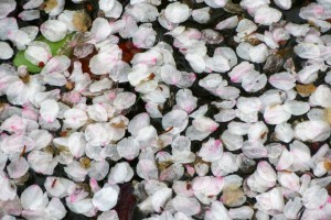 Petals in the water